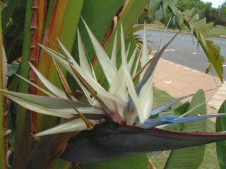 Стрелиция белая (Strelitzia alba)