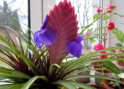 Экзотическое растение тилландсия в домашних условиях