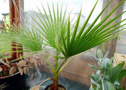 Вашингтония — эффектная пальма для вашего дома