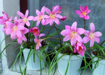 Интересные особенности и выращивание зефирантеса