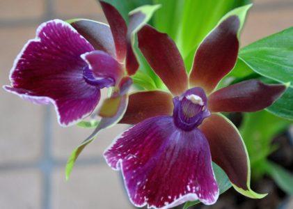 Зигопеталум — неприхотливая орхидея